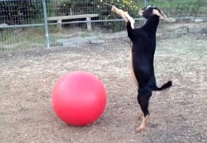 yoga-ball-goat