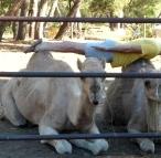 planking-camel-yoga